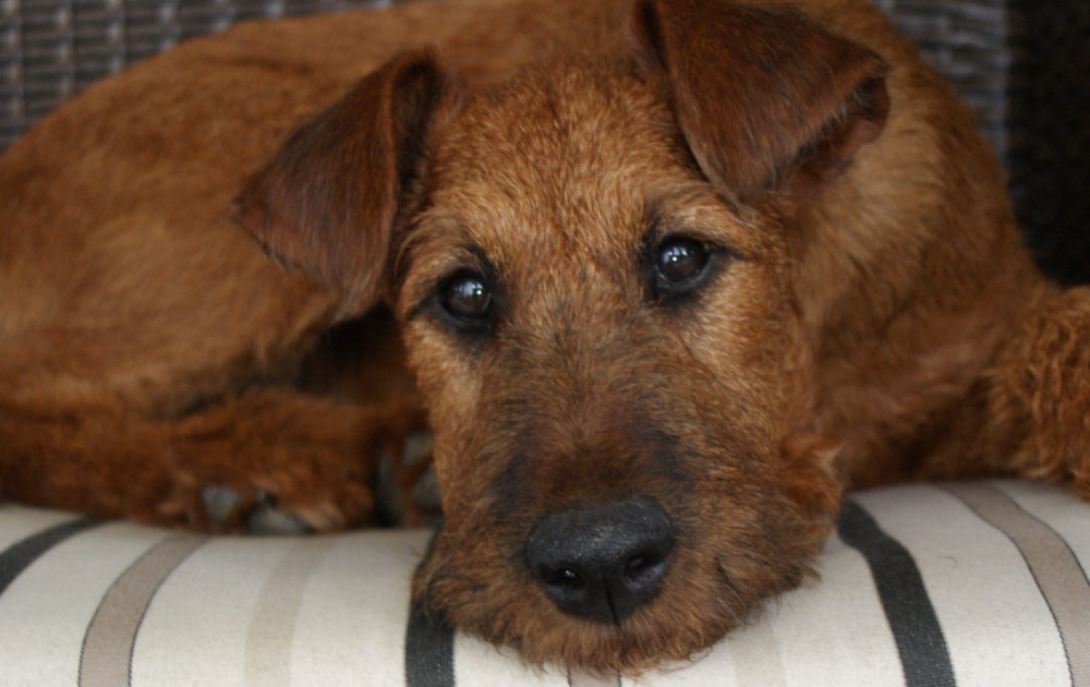 Alcaphi – Irish Terrier